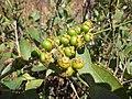 Frutas nativas. - panoramio.jpg