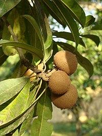 Frutos del níspero criollo