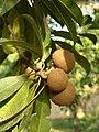 Frutos del níspero criollo.jpg