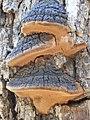 Fulvifomes everhartii (Ellis &. Gall.) Murrill 414536.jpg
