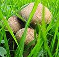 Fungi (29744894614).jpg