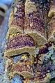 Fuscoporia ferrea (Pers.) G. Cunn 838381.jpg