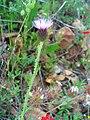 Galactites duriaei FlowersCloseup 01May2009 CampodeCalatrava.jpg