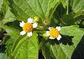 Galinsoga ciliata flowers1.JPG
