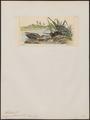 Gallinago wilsonii - 1820-1860 - Print - Iconographia Zoologica - Special Collections University of Amsterdam - UBA01 IZ17400303.tif