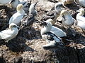Gannet and chick.JPG