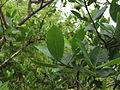 Gardenia gummifera 013.JPG