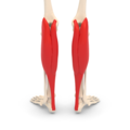 Gastrocnemius muscle - posterior view.png