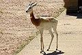 Gazella dama -Marwell Wildlife, Hampshire, England-8a.jpg