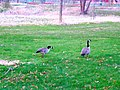 Geese in Warner Park - panoramio (8).jpg
