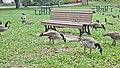 Geese picnic. - Pique-nique de bernaches au parc - panoramio.jpg