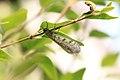 Geflecktflüglige Ameisenjungfer Euroleon nostras 7354.jpg