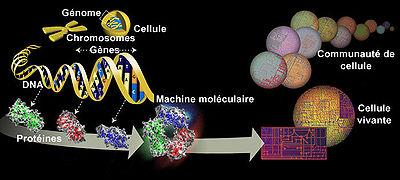 De la molécule d'ADN à la cellule vivante.