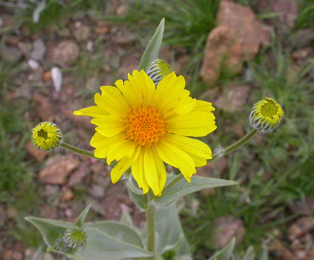 Geraea Canescens Wikipedia
