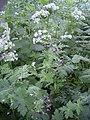 Geranium phaeum plant.jpg