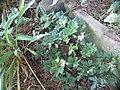 Geranium robertianum L. (AM AK330551).jpg