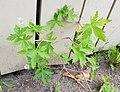 Geranium sibiricum tartu.jpg
