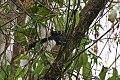 Giant Antshrike (Batara cinerea) (8077619738).jpg