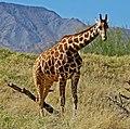 Giraffe, Living Desert 3-15 (16173981203).jpg
