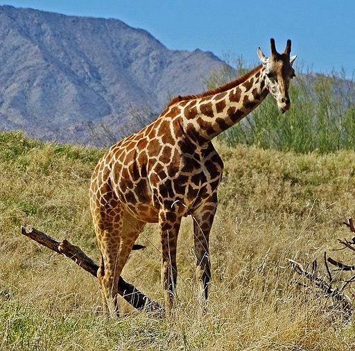Giraffe, Living Desert 3-15 (16173981203)