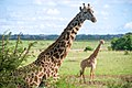 Giraffes Stand in a Field in Nairobi National Park (17150574397).jpg