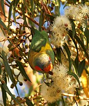 This Musk Lorikeet is feeding on nectar.