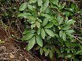 Glycosmis pentaphylla (5086451189).jpg