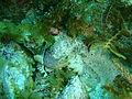 Glyptauchen panduratus Goblinfish P1021056.JPG