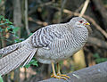 Golden Pheasant female RWD3.jpg