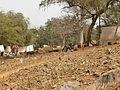 Gorée - Vaches.JPG