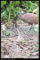 Gorsachius melanolophus (5623710515).jpg