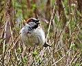 Gråsparv House Sparrow (20342644722).jpg
