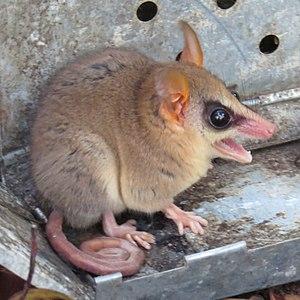 Agile gracile opossum - Image: Gracilinanus agilis 04