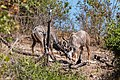 Gran kudús (Tragelaphus strepsiceros), parque nacional de Chobe, Botsuana, 2018-07-28, DD 28.jpg