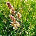 Grass - Flickr - Stiller Beobachter.jpg