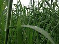 Grass in Nepal.jpg