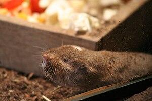 Ansell's mole-rat - Image: Graumull IMG 4058
