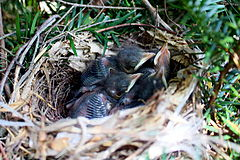 Gray-catbird-hatchlings.jpg