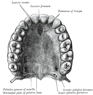 Incisive foramen - The bony palate and alveolar arch.