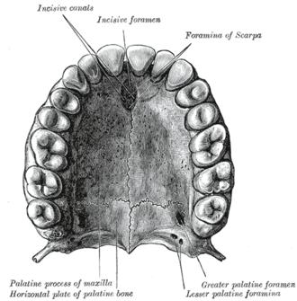 Incisive foramen - The bony palate and alveolar arch.