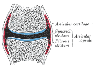 Joint capsule - Diagrammatic section of a diarthrodial joint.