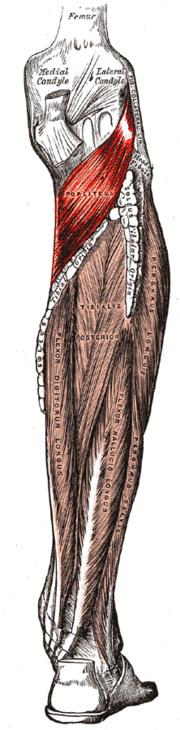 Músculo poplíteo - Wikipedia, la enciclopedia libre