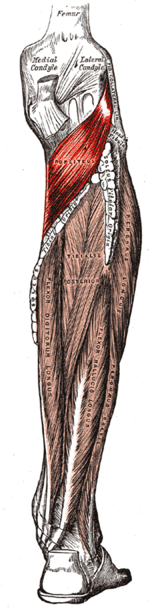 Popliteus muscle - Deep layer of muscles on the back of the right leg