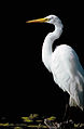 Great Egret (5836716461).jpg