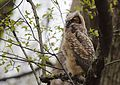 Great Horned Owl youngster - 1st day of emergence (26106440210).jpg