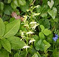 Greater Butterfly Orchid Platanthera chlorantha(2) (44078507740).jpg