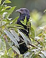 Greater Coucal (Centropus sinensis) - Flickr - Lip Kee (3).jpg