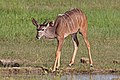 Greater kudu (Tragelaphus strepsiceros strepsiceros) juvenile male.jpg