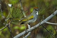 Green-tailed Towhee - Oregon - USA S4E8659 (23392211455).jpg