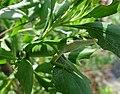 Green Anole (Anolis carolinensis) (34246776240).jpg